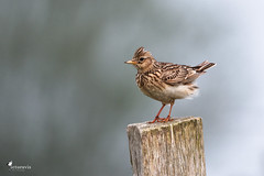 Skylark on a fence post (Picturavis) Tags: fehmarn naturschutzgebiet vogel bird germany picturavis feldlerche grünerbrink deutschland naturereserve eurasianskylark alaudaarvensis