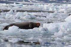 Bearded Seal (Chris_Guy) Tags: stjonsfjord seal arctic spitsbergen svalbard