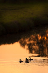 Merganser Ducklings on the Slough (EdBob) Tags: merganser ducklings duck ducks slough wildlife babies sunset lummiisland outdoors nature dusk water silhouette warm light edmundlowephotography edmundlowe edlowe washington washingtonstate westernwashington pacificnorthwest pugetsound whatcomcounty america usa allmyphotographsare©copyrightedandallrightsreservednoneofthesephotosmaybereproducedandorusedinanyformofpublicationprintortheinternetwithoutmywrittenpermission