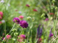 Flowers in garden of Hotel De Wilmersberg - De Lutte (joeke pieters) Tags: 1470898 panasonicdmcfz150 bloemen flowers twentsewallen oldenzaal twente overijssel nederland netherlands holland