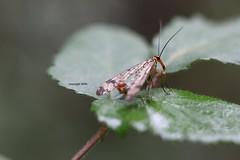 Panorpidae (Phil Arachno) Tags: salles france insecta arthropoda panorpidae eos80d canon