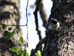 6Q3A3487 (www.ilkkajukarainen.fi) Tags: motacillaalba västäräkki bird lintu life suomi finland finlande eu europa scandinavia travel travelling visit happy line karkali naturepark three puu