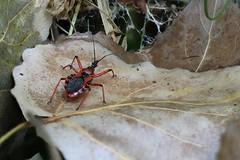 Heteroptera, field-stack (Phil Arachno) Tags: salles france insecta arthropoda heteroptera eos80d canon fieldstack heliconfocus