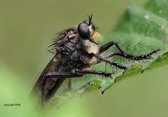 Asilidae,  field-stack (Phil Arachno) Tags: salles france insecta arthropoda asilidae diptera raubfliege heliconfocus fieldstack summer nature aquitanien