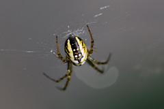 IMG_6681_DxO (JLBenazra) Tags: villefrancoeur araignées