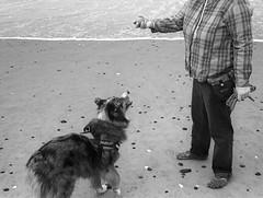 Seriously Just Throw It (sicsnewton) Tags: beach tide ocean surf dog pet oregon sand