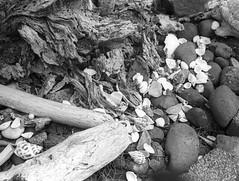 Ocean Echoes (sicsnewton) Tags: beach tide ocean surf oregon