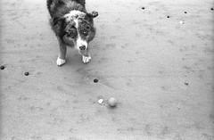 Just Throw it Already (sicsnewton) Tags: beach tide ocean surf dog pet oregon sand