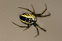 IMG_6683_DxO (JLBenazra) Tags: villefrancoeur araignées