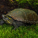 Mississippi Mud Turtle (Kinosternon subrubrum hippocrepis)