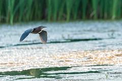 103874 - Héron Vert - Green Heron - Crop (xVanHovenx) Tags: héron heron héronvert greenheron parcdelafrayère boucherville nature animal oiseau bird sonya7iii sigmamc11 sigma150600mmcontemporary