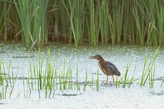 103979 - Héron Vert - Green Heron - Crop (xVanHovenx) Tags: héron heron héronvert greenheron parcdelafrayère boucherville nature animal oiseau bird sonya7iii sigmamc11 sigma150600mmcontemporary