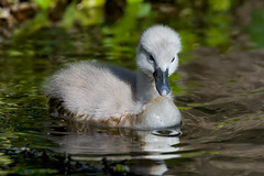 Cygnet on the lake (Franck Zumella) Tags: cygne swan oiseau bird lake lac water eau juvenile jeune chick poussin white blanc wildlife nature reflexion reflection sony a7s tamron 150600 leaf feuille leaves composition animal young cygnet