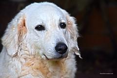 Kutya (Aprehendiz-Ana Lía) Tags: flickr nikon perro kuvasz blanco perrosblancos ojos mirada tímido retrato amigo mdq argentina húngaro compañía analialarroude dulce cute dog chien kutya