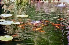 (3) la fame (michele.palombi) Tags: grazieadioc'èancoralapellicola negativocolore c41 colortec kodakektar100 fame film35mm tuscany fontana pescirossi florence giardinodellerose