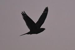 Nightjar in flight (Kentish Plumber) Tags: nightjar inflight june 2019 eastsussex rspbreserve