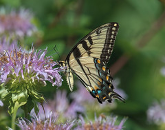 Eastern Tiger Swallowtail (jerryherman1) Tags: nature nikond500 nikor200500f56 northtract maryland patuxentnationalwildliferefuge butterfly