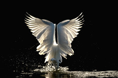 Great Egret Angel (ronniegoyette) Tags: 2019 morrobayestuary morrobaystatepark greategret droh dailyrayofhope