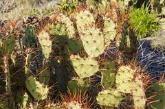 Prickly Pear Cactus (rschnaible) Tags: texas usa desert big bend national park outdoors landscape dagger flats prickly pear cactus botanical