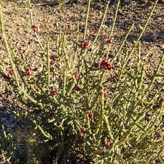 Red and Green (rschnaible) Tags: texas usa desert big bend national park outdoors landscape dagger flats botanical cactus
