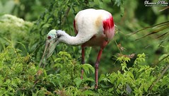 Eat your greens (Shannon Rose O'Shea) Tags: shannonroseoshea shannonosheawildlifephotography shannonoshea shannon roseatespoonbill spoonbill bird beak feathers wings pink pinklegs redeyes plataleaajaja wadingbirdrookery staugustine florida staugustinealligatorfarmzoologicalpark rookery leaves green nature wildlife waterfowl outdoors outdoor outside colorful colourful colours colors skinnylegs flickr wwwflickrcomphotosshannonroseoshea smugmug art photo photography photograph wild wildlifephotography wildlifephotographer wildlifephotograph femalephotographer girlphotographer womanphotographer shootlikeagirl shootwithacamera throughherlens thl closeup close camera canon canoneos80d canon80d canon100400mm14556lisiiusm eos80d eos 80d 80dbird canon80d100400mmusmii 2019 canongirl bokeh birdphotographer naturephotographer