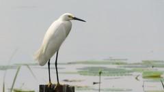 Snowy Egret (Suzanham) Tags: heron snowyegret egret white nature bird plumage wildlife wadingbird