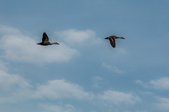 ducks-9860 (Balaji Photography : 7.0 Million views) Tags: yellow ducks indianspotbilledduck birdsonflight birds pallikaranai chennaibirds waterbirds