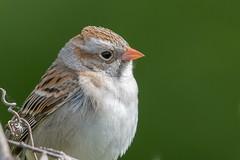 Bruant Des Champs / Field Sparrow (ALLAN .JR) Tags: bruantdeschamps fieldsparrow oiseau bird nature faune wildlife montéesmelliegodmanchester qc nikon
