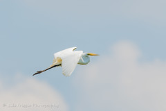Great Egret in Flight (Bill Friggle Photography) Tags: greategret egret flight clouds bird wildwoodlake wildwood harrisburg pa pennsylvania park