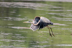 06282019-274-2 (Bill Friggle Photography) Tags: greatblueheron heron blue bird flight flying wildwood lake park harrisburg pennsylvania nikon d600 nikon200500 200500 500mm