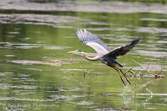 06282019-273-2 (Bill Friggle Photography) Tags: greatblueheron heron blue bird flight flying wildwood lake park harrisburg pennsylvania nikon d600 nikon200500 200500 500mm