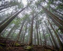 """""""I am most alive among the tall trees"""" (s.d.sea) Tags: tree trees forest woods fog foggy wide angle hike hiking trail summer washingtonstate washington wa pnw pacificnorthwest 2470mm pentax k1ii landscape north bend"""
