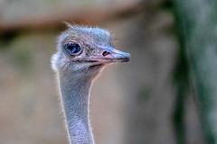 Ostrich (John Picken) Tags: animal bird nature ornithology picken wildlife ostrich zoo lincolnparkzoo captivity ratite struthionidae flightless