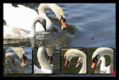 Un scoop ...les cygnes mangent du poisson ! (mamnic47 - Over 10 millions views.Thks!) Tags: 29062019 maresaintjames 6c8a8704 montage bd cygne cygneau poisson nourriture pêche