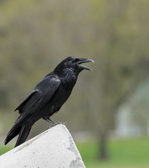 Grand Corbeau // Common Raven (Alexandre Légaré) Tags: grand corbeau common raven corvus corax oiseau bird animal avian wildlife nature nikon d7500 quebec canada noir black