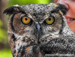 DSCN6042 (j.s. clark) Tags: alabama auburn raptors birds owl greathornedowl