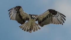 Osprey 2541 (Paul McGoveran) Tags: bif birdinflight nature nikon500mmf4 nikond850 ontario osprey wrigleycorners