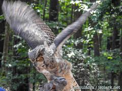 DSCN6051 (j.s. clark) Tags: alabama auburn raptors birds owl greathornedowl