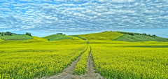 Canola fields - panorama (Wayne~Chadwick) Tags: canola palouse hills hdr