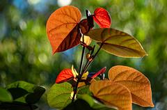 Morning Light (Vanda Francke) Tags: foliage leaves flowers hibiscus nikon