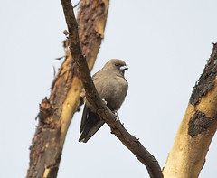 Dusky Woodswallow (philk_56) Tags: western australia perth john forrest national park bird