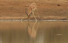 Tranquillity   ( Impala ) (Pixi2011) Tags: antelope southafrica africa wildlifeafrica wildanimals animals nature