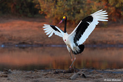Saddle-billed Stork (leendert3) Tags: leonmolenaar southafrica krugernationalpark naturereserve nature naturalhabitat wildlife wildanimal wilderness saddlebilledstork ngc npc