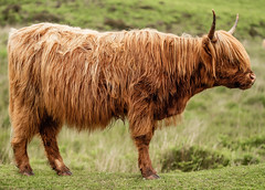 Hairy Coo (NikNak Allen) Tags: plymouth dartmoor highland cow highlandcow animal wild horns grass moors moorland sun morning fringe
