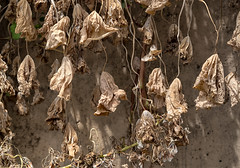 dead leaves (queue_queue) Tags: leaves foliage decay death brown dry walls sanfrancisco