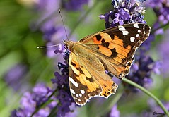 Painted Lady (Vanessa Cardui) (Eleanor (New account))) Tags: butterfly paintedladybutterfly lavender kensingtongardens london nikond7100 june2019