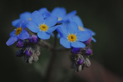 Myosotis des Alpes (N.Hell) Tags: flower cute beauty nature plant colour blue yellow bokeh macro canon 50d sigma 105mm proxy closeup smooth light petal romantic mountain alps spring