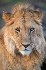Handsome (Xenedis) Tags: africa animal cat kenya wildlife lion safari bigcat afrika simba bigfive gamedrive riftvalley eastafrica maasaimara pantheraleo republicofkenya narokcounty maranorthconservancy chelipride fh ig