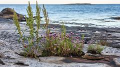 By the sea (tonyguest) Tags: sea rocks flowers plants coast tonyguest karlshamn boön sweden