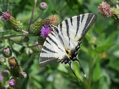 Scarce Swallowtail on a thistle. (Vitaly Giragosov) Tags: scarceswallowtail iphiclidespodalirius butterfly insect crimea sevastopol russia россия севастополь крым бабочка подалирий насекомые